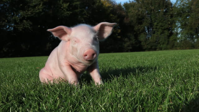 Piglet sitting on grass