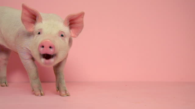 vídeos de stock e filmes b-roll de piglet standing against pink background - porco