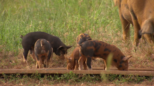 Piglets feeding from a trough surrounded by wheat fields Piglet in fore ground mother and babies in the background