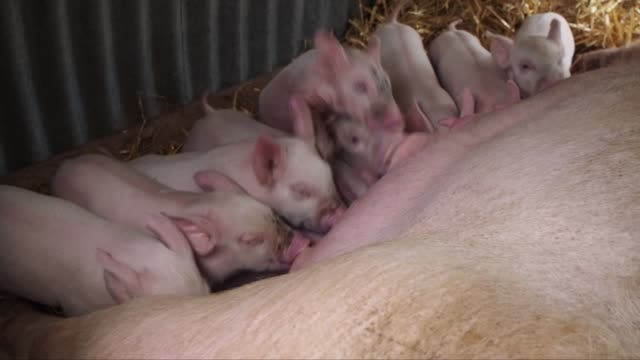 piglets feeding from mother sow in corrugated pig shelter - large group of animals stock-videos und b-roll-filmmaterial