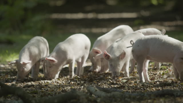piglets foraging the forest floor. new forest autumn pannage - pig stock videos & royalty-free footage