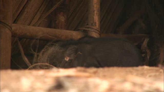 piglets in a barn root through hay near a boar in ethiopia. - griskulting bildbanksvideor och videomaterial från bakom kulisserna