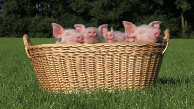 Piglets in a basket