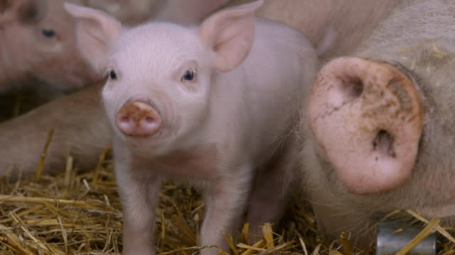 piglets in pig farm - pig stock videos & royalty-free footage