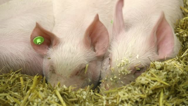 Piglets lie in a pen at the 2018 International Green Week agricultural trade fair on January 19 2018 in Berlin Germany German authorities are...