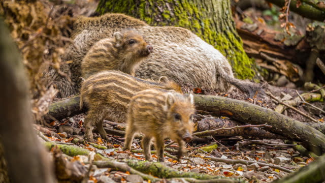 piglets of wild boar - pig stock videos & royalty-free footage