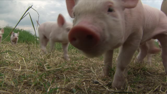 stockvideo's en b-roll-footage met piglets on a farm - weide