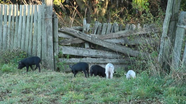 Piglets playing and jolly run in farm yard