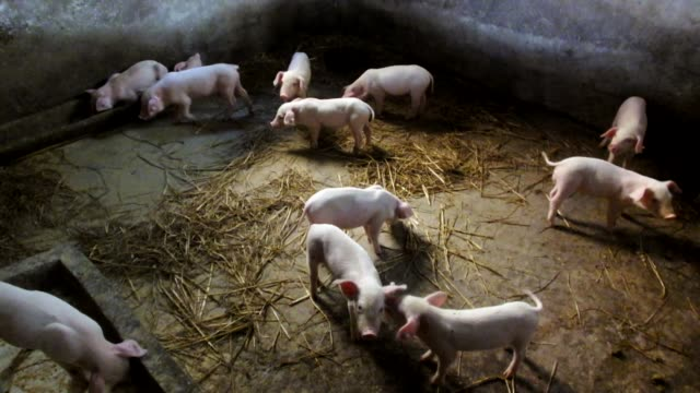 piglets raised by farmers play in pigpen on august 1 in yichang, hubei province of china. - ブタ点の映像素材/bロール