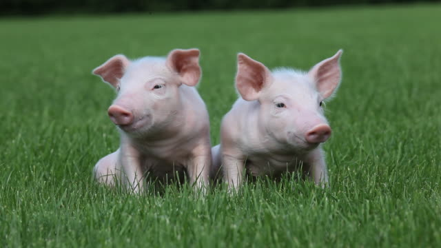 Piglets sitting on grass