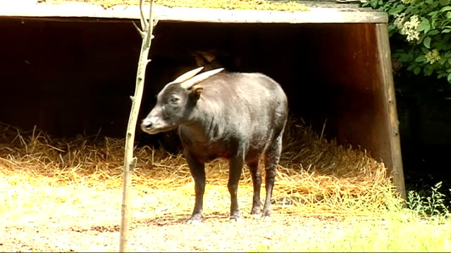 stockvideo's en b-roll-footage met pigmy hippos at london zoo; pygmy hippo resting in shade / goats sheltering on straw / goats eating leaves / various of goats in pen - nijlpaard