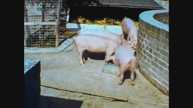 pigs at the zoo, 4k digitized footage - animal family stock videos & royalty-free footage