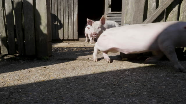 pigs being released for autumn pannage, new forest - pig stock videos & royalty-free footage