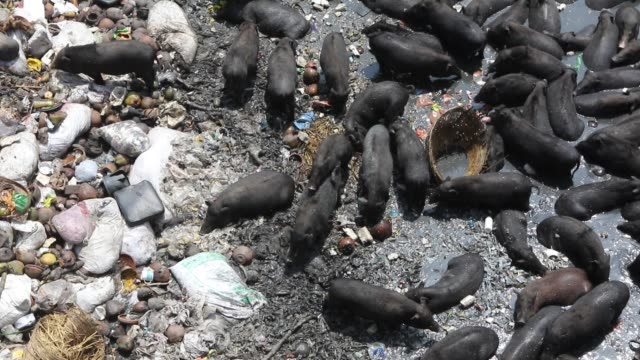 vídeos de stock, filmes e b-roll de pigs eat garbage near factories in savar the outskirts of the capital the pigs eat roots and taro stolon of arum water lilies mach alu and other wild... - domestic animals