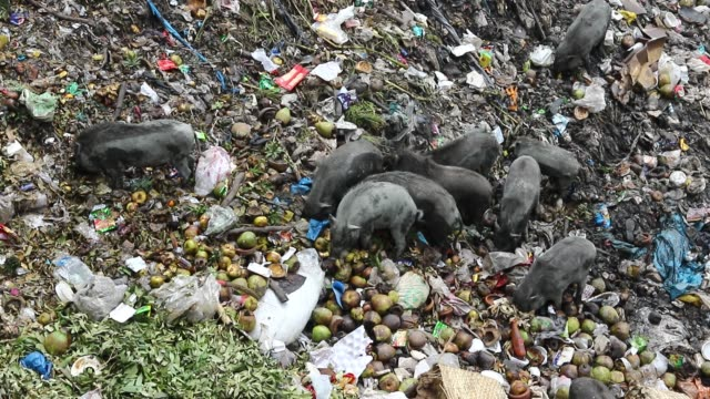 vídeos de stock, filmes e b-roll de pigs eat garbage near factories in savar, the outskirts of the capital. the pigs eat roots and taro stolon of arum, water lilies , mach alu and other... - domestic animals
