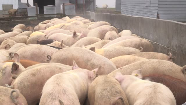 vídeos y material grabado en eventos de stock de pigs eating grain at alderland pig farm in new providence iowa us on april 8 2015 shots wide shots and close up of pigs eating grain from a tractor... - cercamiento