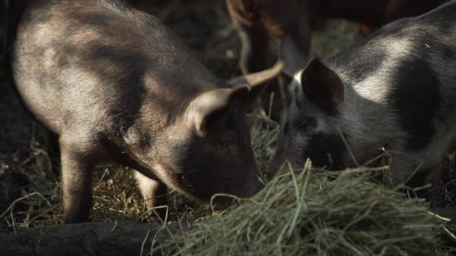 CU of pigs eating hay