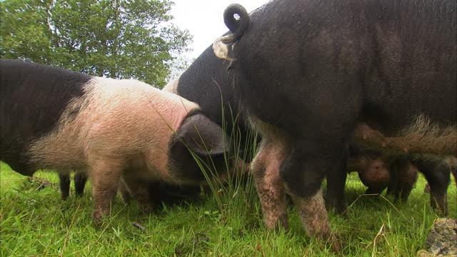 vídeos y material grabado en eventos de stock de pigs eating on green grass - nariz de animal