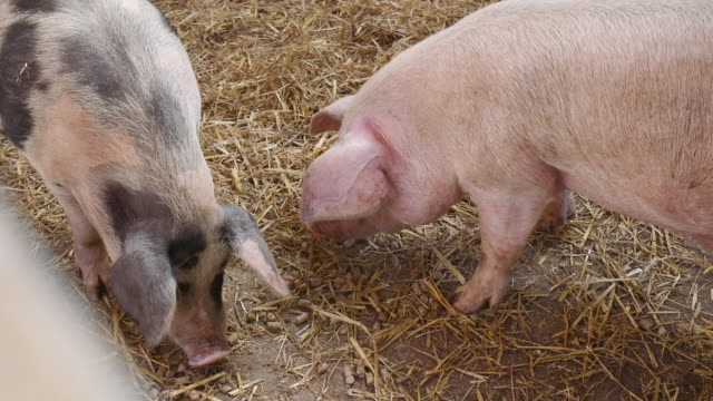 pigs eating - pig stock videos & royalty-free footage