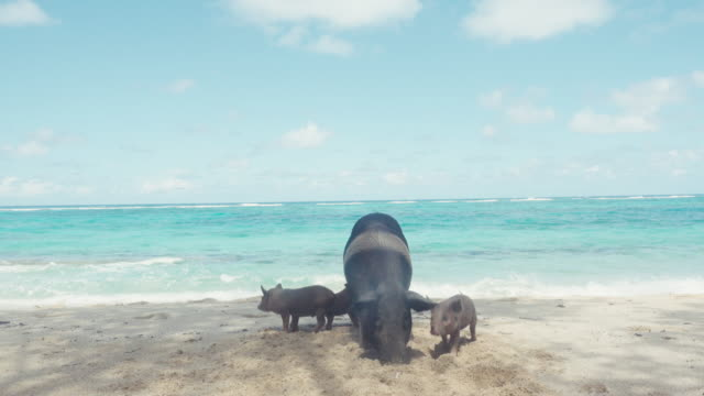 Pigs family at a Caribbean beach at Cuba. Black animals at white sand in front of an idyllic turquoise sea.