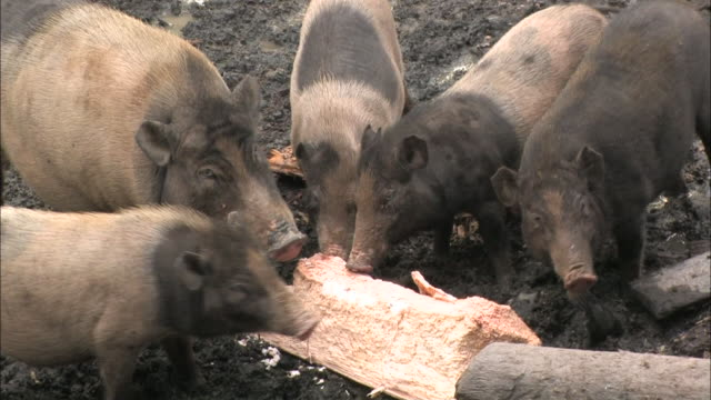 pigs feed from a log. - pig stock videos & royalty-free footage