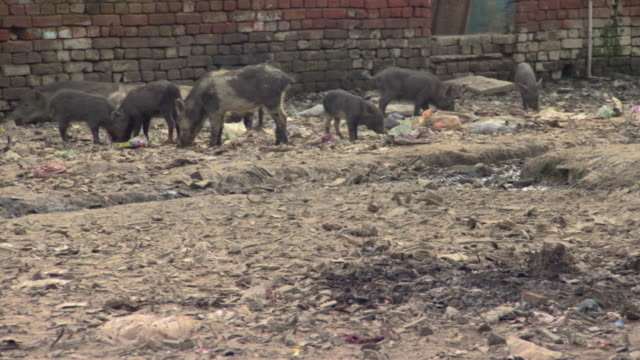 ws pigs feeding in pile of garbage in village, agra, uttar pradesh, india - agra stock videos and b-roll footage