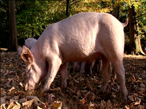 pigs foraging for food in autumn leaves - foraging stock videos & royalty-free footage