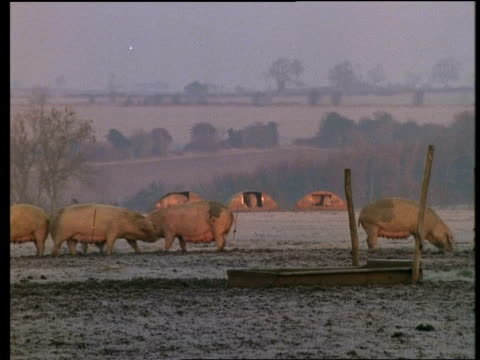 ms pigs foraging in frosty field - foraging stock videos & royalty-free footage
