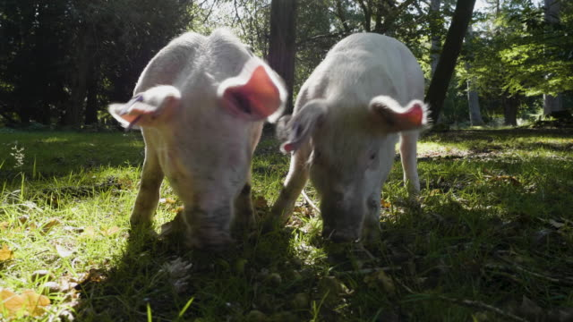 pigs foraging the forest floor during autumn pannage, new forest - foraging stock videos & royalty-free footage