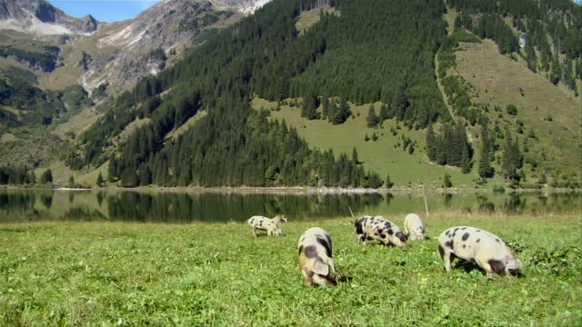 pigs grazing in bavarian field. - pig stock videos & royalty-free footage