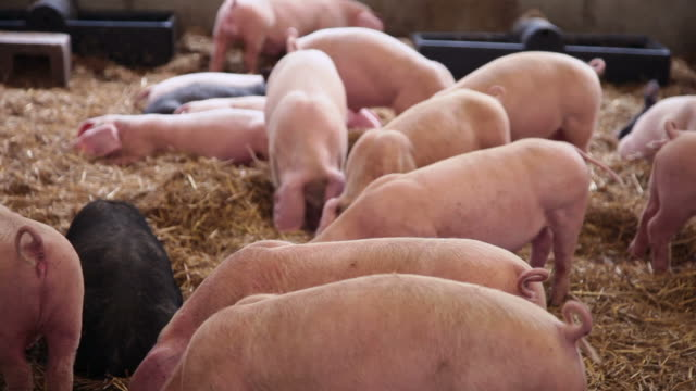 pigs in a pigpen - hay stock videos & royalty-free footage