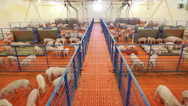 Pigs in buildings at Paustian Enterprises a hog farm in Walcott Iowa USA on Tuesday April 172018