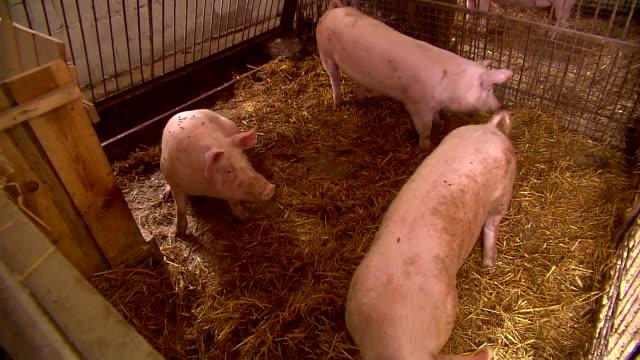 pigs in pen - schwein stock-videos und b-roll-filmmaterial