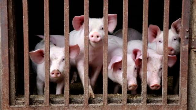 schweine im schweinestall - tier rücken stock-videos und b-roll-filmmaterial