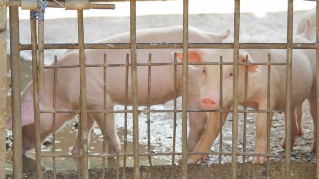 Pigs in pigpen.