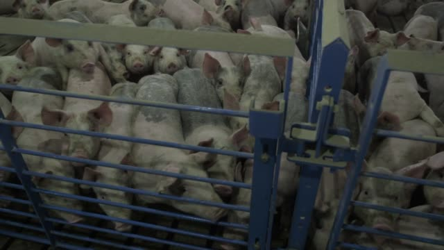 Pigs in pigpens at Brenneman Pork Inc pig farm in Washington Iowa US on April 8 2015 Shots Wide shots and pans of pig standing in pigpens Wide shots...