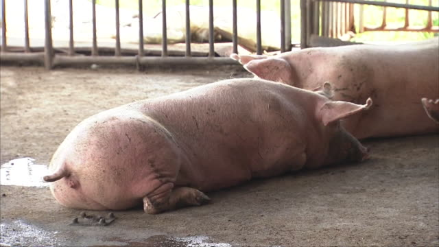 Pigs lying down and resting on a farm