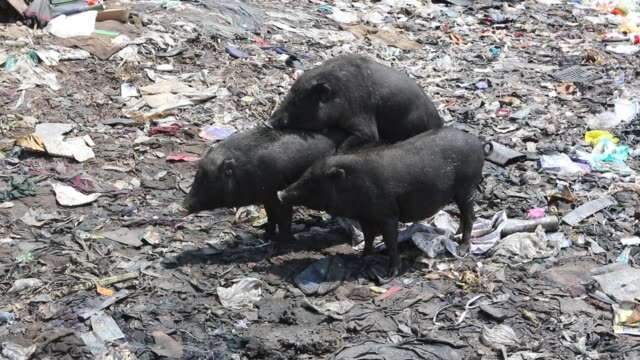 Pigs mating garbage near factories in Savar the outskirts of the capital The pigs eat roots and taro stolon of arum water lilies mach alu and other...