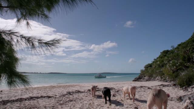 ws pigs on a beach, bahamas - bahamas stock videos & royalty-free footage