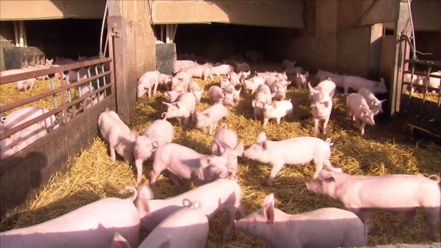 pigs on a farm - animal pen stock videos & royalty-free footage