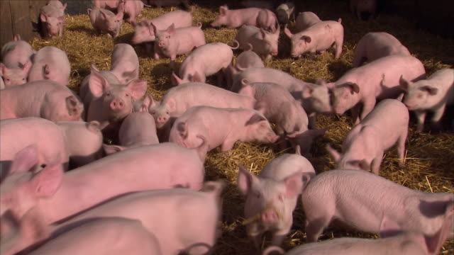 pigs on a farm - livestock stock videos & royalty-free footage