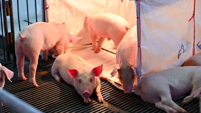 Pigs on an modern industrial pig farm