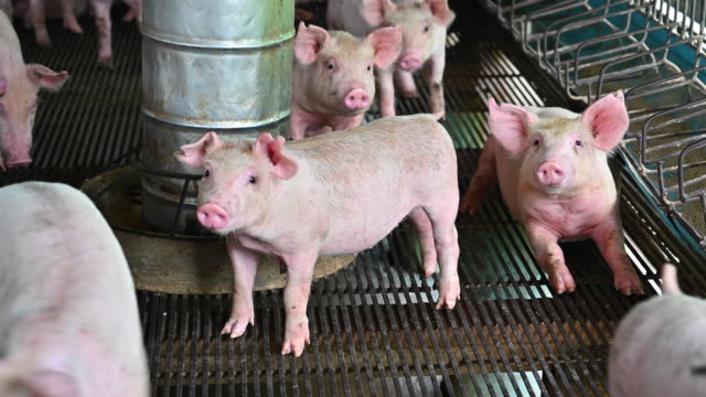 pigs on an modern industrial pig farm - barn stock videos & royalty-free footage
