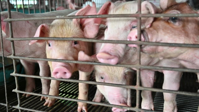 pigs on an modern industrial pig farm - animal body part stock videos & royalty-free footage
