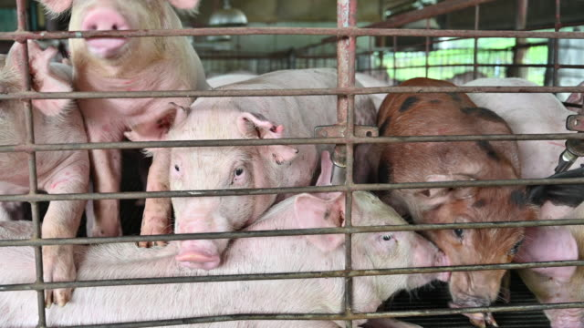 pigs on an modern industrial pig farm - industry stock videos & royalty-free footage