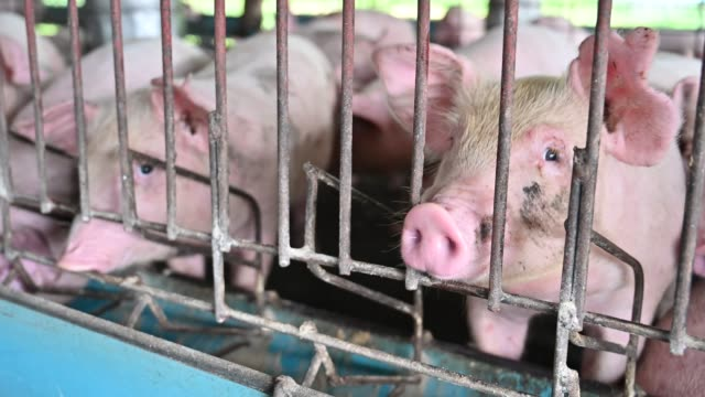pigs on an modern industrial pig farm - piglet stock videos and b-roll footage