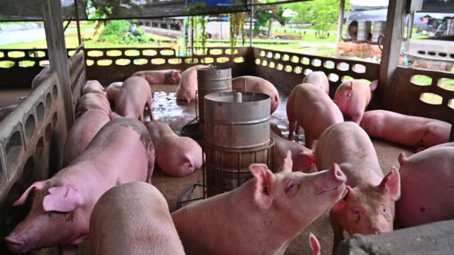 pigs on an modern industrial pig farm - farm stock videos & royalty-free footage