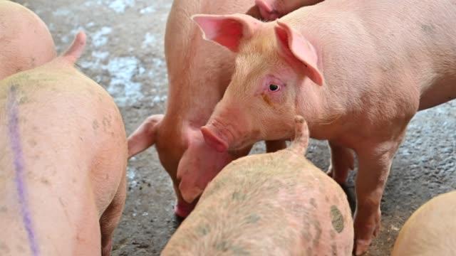 近代的な産業養豚場のブタ - 家畜点の映像素材/bロール