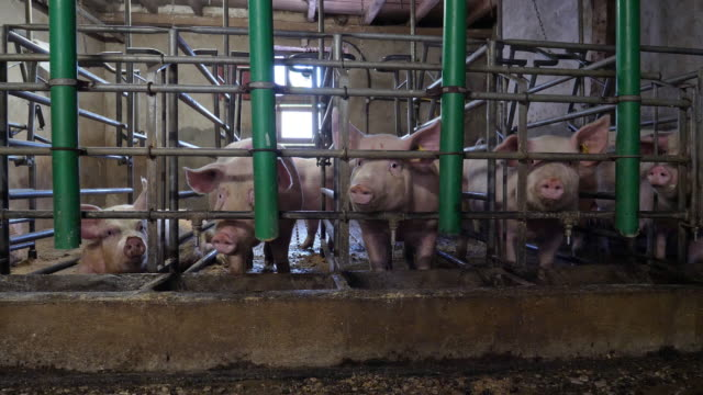 vidéos et rushes de porcs à la ferme - mignon