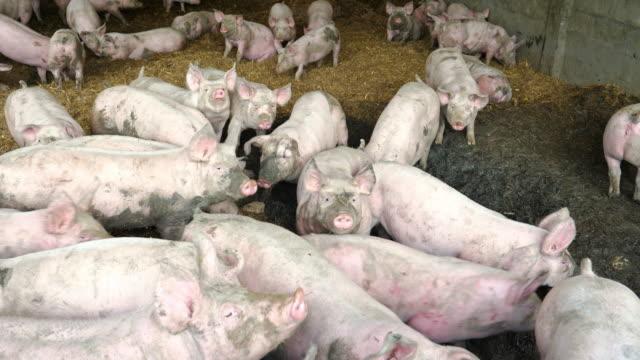 schweine auf dem hof - große tiergruppe stock-videos und b-roll-filmmaterial